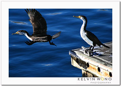 See You Later (Kelvin Wong (Away)) Tags: blue motion cute bird nature water beauty canon wonderful fly flying amazing cool wings superb wildlife australia excellent adelaide cormorant southaustralia interestiness ef75300mm canoneos400d canoneosrebelxti aplusphoto canoneoskissx kelvinwong piscesromance