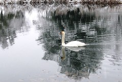 gliding on liquid silver (crlpix (Away)) Tags: water reflections smooth muteswan iloveit liquidsilver abigfave