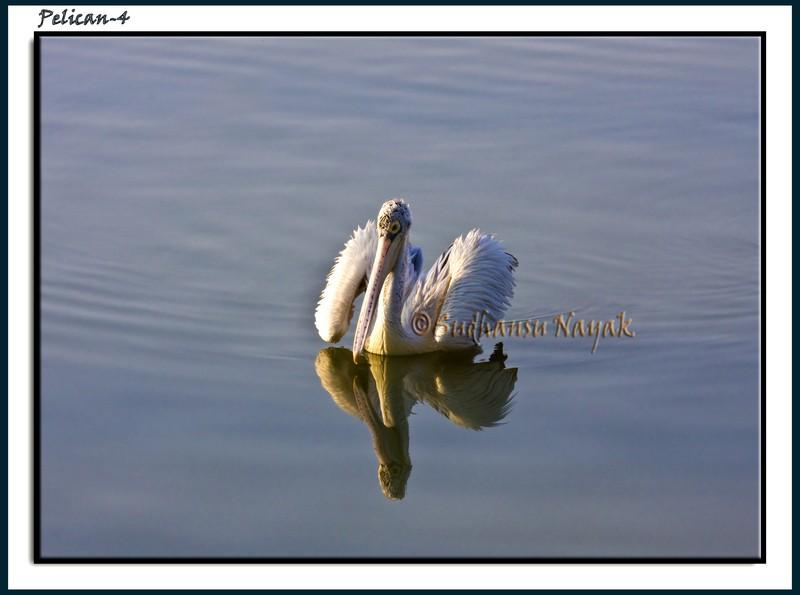 Pelicans-4
