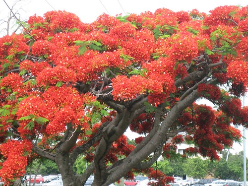Flamboyant tree in Scarborough