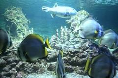 clear blue water (oriana.italy) Tags: nature liguria x dd bluefishes northitaly platinumphoto img018 orianaitaly aquariumofgenova naturesfinestban