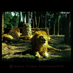 Rei Leão (m@®©ãǿ►ðȅtǭǹȁðǿr◄©) Tags: animals brasil sãopaulo animales animais canoneos500n reileão zôosafári reyleón canon28÷80mmf3556 m®©ãǿ►ðȅtǭǹȁðǿr◄© simbasafári marcovianna