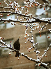 Christmas bird (noamgalai) Tags: christmas nyc winter snow ny newyork tree bird fruits photo december picture photograph blackbird    noamg christmasbird noamgalai   sitelandscapes sitemain