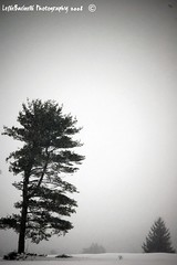Simple Beauty (Leslie*B) Tags: trees winter snow cold tree pine alone snowstorm 2008 tilted imperfection