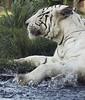 spLash~! (tropicaLiving - Jessy Eykendorp) Tags: water indonesia geotagged splash siberian whitetiger actionshot ef70300mmf4056isusm canoneos50d tropicaliving balisafarypark jessyce geo:lon=115157318 geo:lat=8817225 tropicalivingtropicalliving