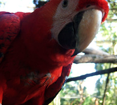 Scarlet Macaw, Belize Zoo (jpravetz) Tags: belize belizecity belizedistrict