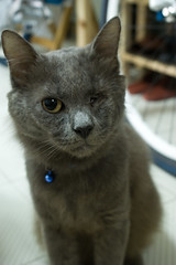 Soul the Cat (Aen Tan) Tags: pet cat grey malecat nebelung
