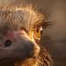 Ostrich Close-up