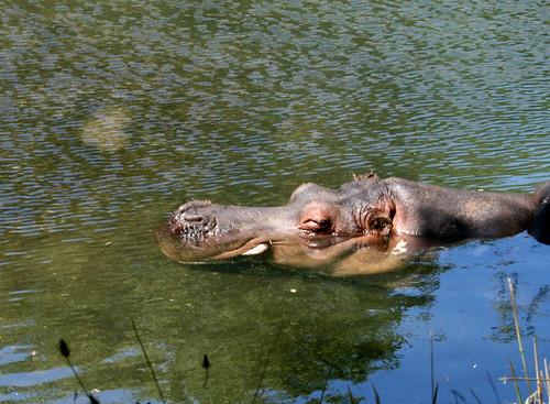 zoo hippos 2