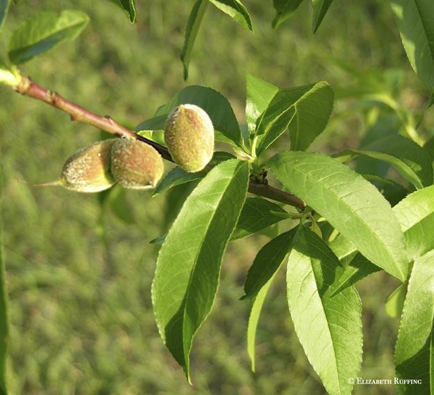 Baby peaches