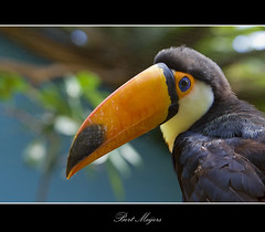 Toucan (B.Meijers) Tags: colour bird nature toucan rotterdam blijdorp shot best tropical coulor toekan ramphastidae colorphotoaward platinumheartaward thebestshot doublyniceshot tripleniceshot mygearandmepremium
