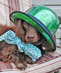 Teddy (Doxieone) Tags: dog brown green hat st chair long day chocolate dachshund deck patricks haired longhaired irsh halloweenfall2008set ddate