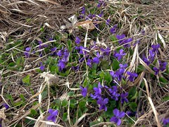 A bunch of nestled violets for you! (:Linda:) Tags: flower grass germany town thringen violet jena thuringia faded withered blume wildflower verblht thuringian wildblume jenaimfrhling