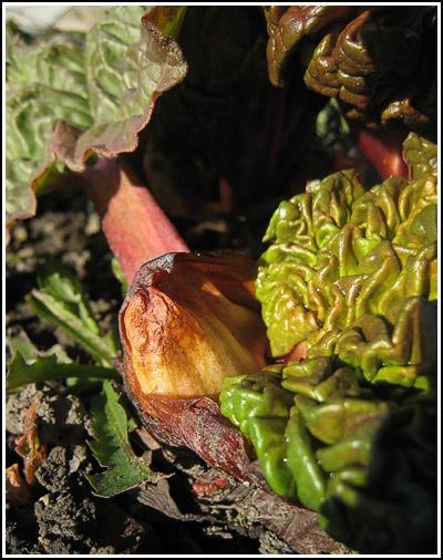 rhubarb copy