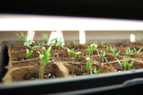 Pepper Seedlings 032808