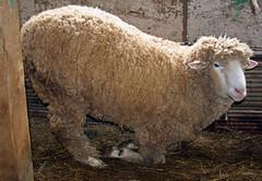 Sheep 201: Sheep diseases A-Z