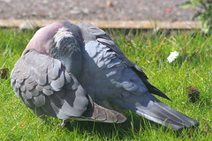wood green bird grass garden scotland pigeon lawn preening sutherland dornoch woodpigeon