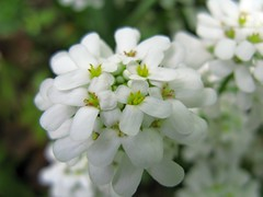 Candytuft / Iberis sempervirens /  /  (TANAKA Juuyoh ()) Tags: white flower high hires hi res g7 sempervirens  candytuft iberis   flowerpicturesnolimits