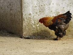 Untitled (Britta's photo world) Tags: bird chicken animal corner farm poultry britta dublinzoo niermeyer aplusphoto diamondclassphotographer flickrdiamond platinumheartaward nginationalgeographicbyitalianpeople azofdigitalediting qualitypixels