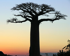 baobab at sunset (Z Eduardo...) Tags: africa sunset tree nature colors island big ligth madagascar baobab morondava mywinners abigfave anawesomeshot impressedbeauty superaplus aplusphoto platinumheartaward betterthangood theperfectphotographer mygearandme mygearandmepremium mygearandmebronze mygearandmesilver mygearandmegold mygearandmeplatinum mygearandmediamond