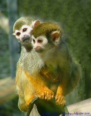 I've got a Monkey on my back..... (law_keven) Tags: animals zoo furry monkeys furryfriday primate colchester colchesterzoo primates zoology squirrelmonkey