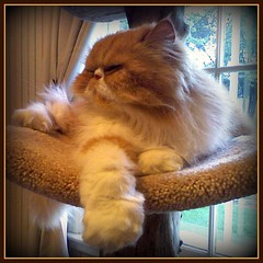 My What Big Paws You Have ~ (iwork4toby) Tags: red cat persian midwest persiancat redpersian luv2explore