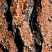 Jeffrey Pine Bark Detail