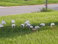 HAS ANYONE SEEN MY CONTACT? (gruntersdad) Tags: birds ibis mylawn