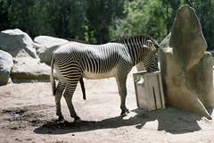 Goin hard. (Ryan Louthian) Tags: penis zoo sandiego zebra boner