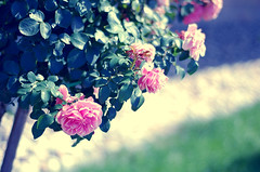 If indeed you must be candid, be candid beautifully~ (Tja'Sha) Tags: flowers nature rose evening bokeh tuesday smoothandsilky bokehlicious bokehwhores fiddywhores pinkgreenandblue hbweve pinkrosestree