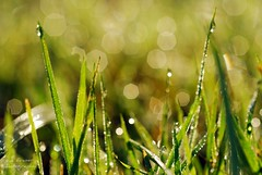 sprinkled with morning dew drops * (suesue2) Tags: macro green grass wednesday dewdrops bokeh michigan glisten earlymorningsunlight hbw suesue2 amazingmich goldenbokeh suefraserphotography