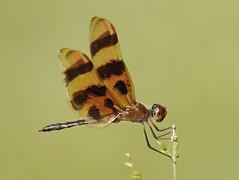 Halloween Pennant - Celithemis eponina (badjoby) Tags: halloweenpennant celithemiseponina naturethroughthelens