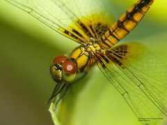 Dragon Fly Close Up (Ar.Shakti Nanda) Tags: macro nature photographer dragonfly olympus sharp architect photograph nanda 510 orissa shakti bhubaneswar ultimateshot theunforgettablepictures shaktinanda