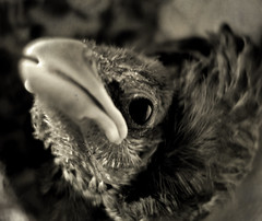 R.I.P.?-07-08 / 28-07-08 (Miguel_Flores) Tags: blackandwhite pet baby bird animal sepia dead rip story sparrow pajaro birdy byw gorrion