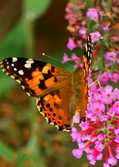 Breakfast (KYGirl Photography) Tags: flower butterfly insect paintedlady myyard