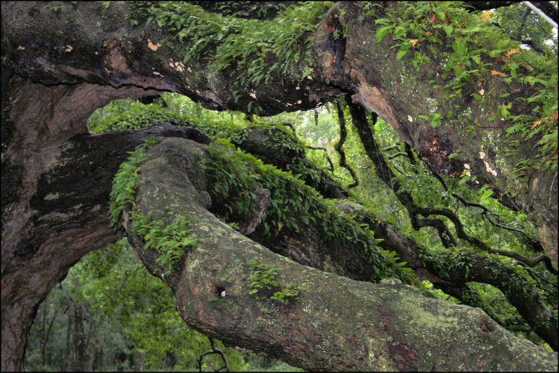 The Angel Oak branches,