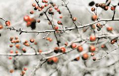Osho's Sannyasins (neo.anders) Tags: ma berries buddha slide zen meditation swami sangha osho sannyasin sannyas sannyasins