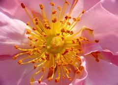 The world inside (zio paperino) Tags: park pink flower macro nature yellow closeup geotagged natura panasonic romania bucharest bucuresti herastrau roumanie fz50 bucarest naturesfinest ziopaperino mygearandme mygearandmepremium mygearandmesilver mygearandmegold