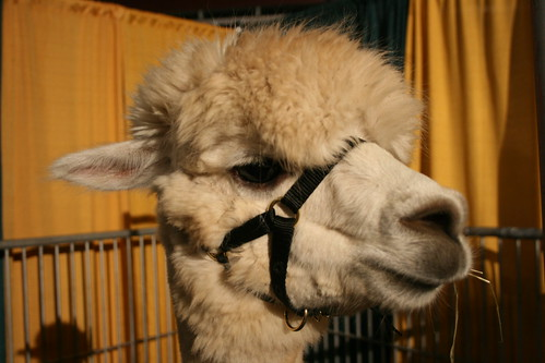 Hello Mr. Alpaca
