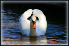 Who Are You? (thingamijig) Tags: reflection wet water canal swan picnik orangebeak snowywhitefeathers