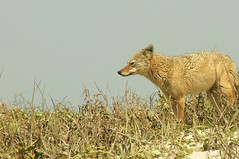 Coyote at Padre Island National Seashore (qnr) Tags: coyote animal north padreisland nationalseashore corpuschristitexas panasonicdmcfz7 10millionphotos turtlepatrol 200000000stagelovers