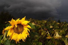 The Last Sunflower (SteenT) Tags: storm sunflower thunder strobe lunarvillage steentalmark talmark