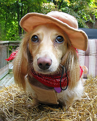Littlest Cowgirl (Doxieone) Tags: dog cute english fall halloween hat long cream dachshund honey blonde 2008 haired 31 coll longhaired honeydog englishcream halloweenfall2008set