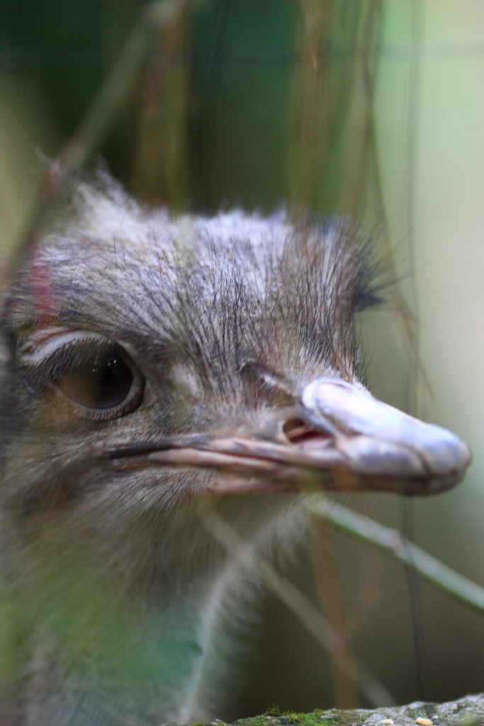 鴕鳥 Struthio camelus at Taipei Zoo