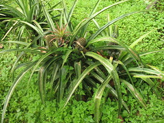 pineapple-bush