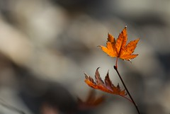 (jasohill) Tags: autumn jason fall love colors japan bronze 1025fav eos japanese with bokeh background iwate backgrounds    aki 2008  sayonara touhoku hachimantai    fotocompetition fotocompetitionbronze fotocompetitionsilver