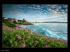 Bondi on a spring Morning (sachman75) Tags: morning pink flowers sea sky clouds sunrise sand waves 1022 interestingness35 i500 3stop 40d leefilters auselite bondibeachdawn ndgrad9