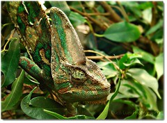 You don't see anything .... (Lookaloopy) Tags: italy nature camouflage chameleon picnik santalessio pavia oasi camaleonte naturalmente iyalia