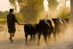 Steering The Buffalo (Amir Mukhtar Mughal | www.amirmukhtar.com) Tags: pakistan light people beautiful canon cow buffalo culture tradition dust amie villagelife amirphotographyyahoocom