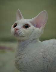 White Devon Rex Cat Named Ghost (Denverphotoscapes) Tags: catdevonrexwhite